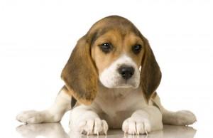 cane cucciolo beagle