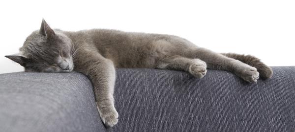 gatto certosino carattere