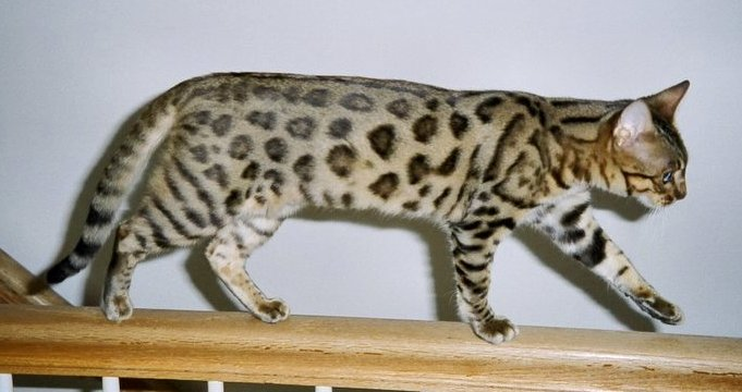 american-best-bengal-cat