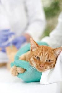 Come somministrare le medicine ai gatti