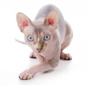 sphynx-cat-300x291