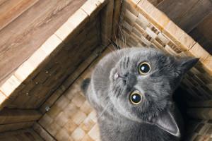 gatto grigio
