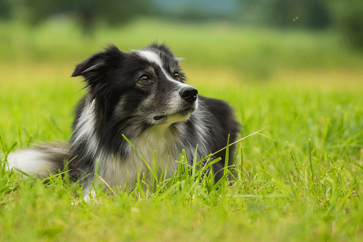 D B Farm Border Collies Giuntinipet Home - Giu...