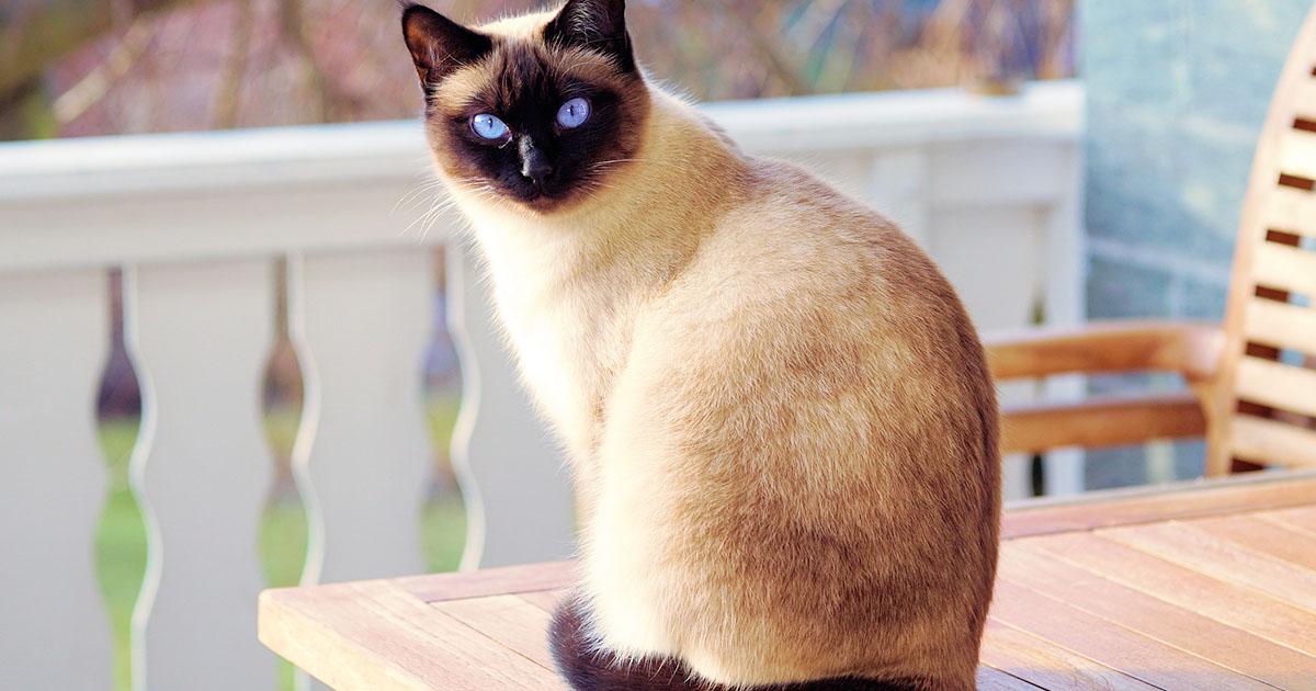 Le origini del gatto Siamese