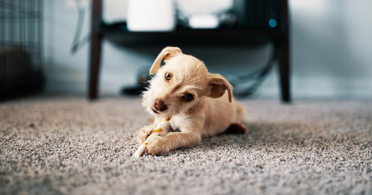Giuntinipet i migliori cani da appartamento giuntinipet